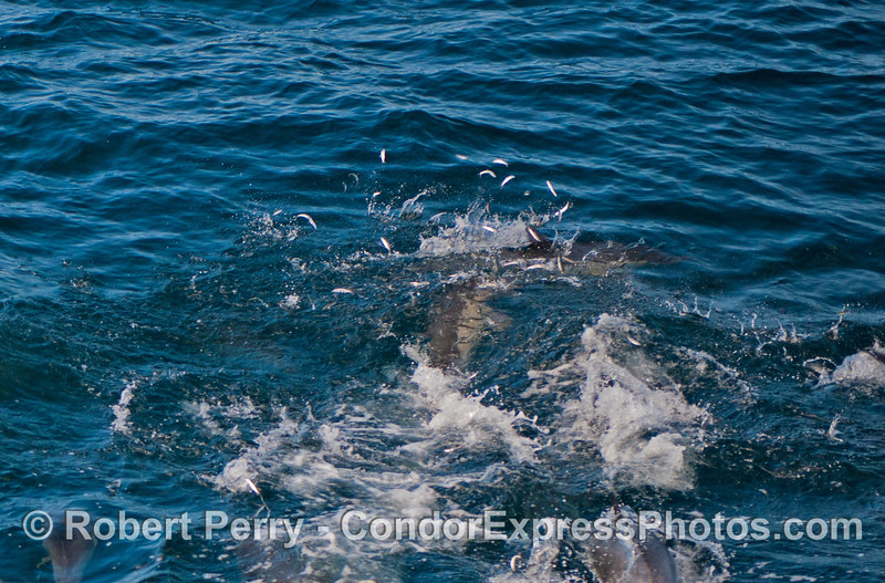 Long beaked common dolphins (<em>Delphinus capensis</em>) feeding on northern anchovies (<em>Engraulis mordax</em>) which can be seen leaping out of the water to escape.