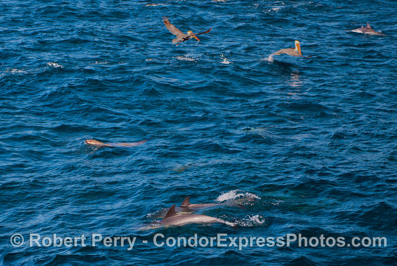 Cast of characters on the feeding grounds:  long beaked common dolphins (<em>Delphinus capensis</em>) in front; a California sea lion (<em>Zalophus californianus</em>) in the left middle; and brown pelicans (<em>Pelecanus occidentalis</em>) in the back.