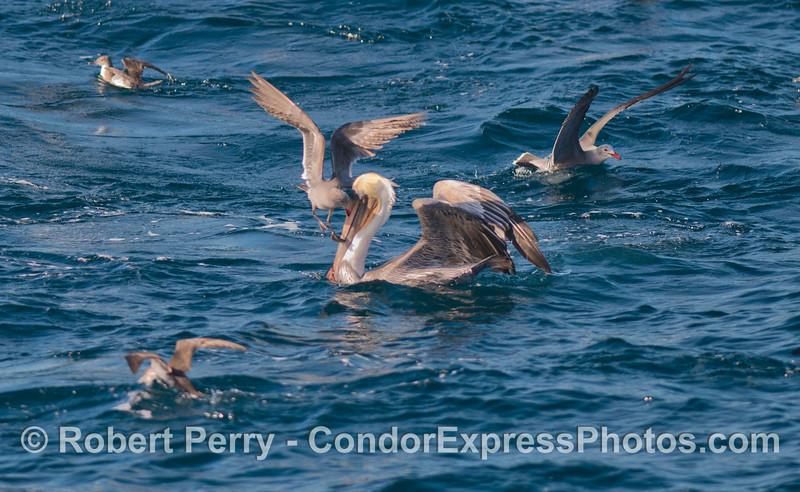 A Heermann's gull (<em>Larus heermanni</em>) attempts to steal fish out of the beak of a brown pelican (<em>Pelecanus occidentalis</em>).
