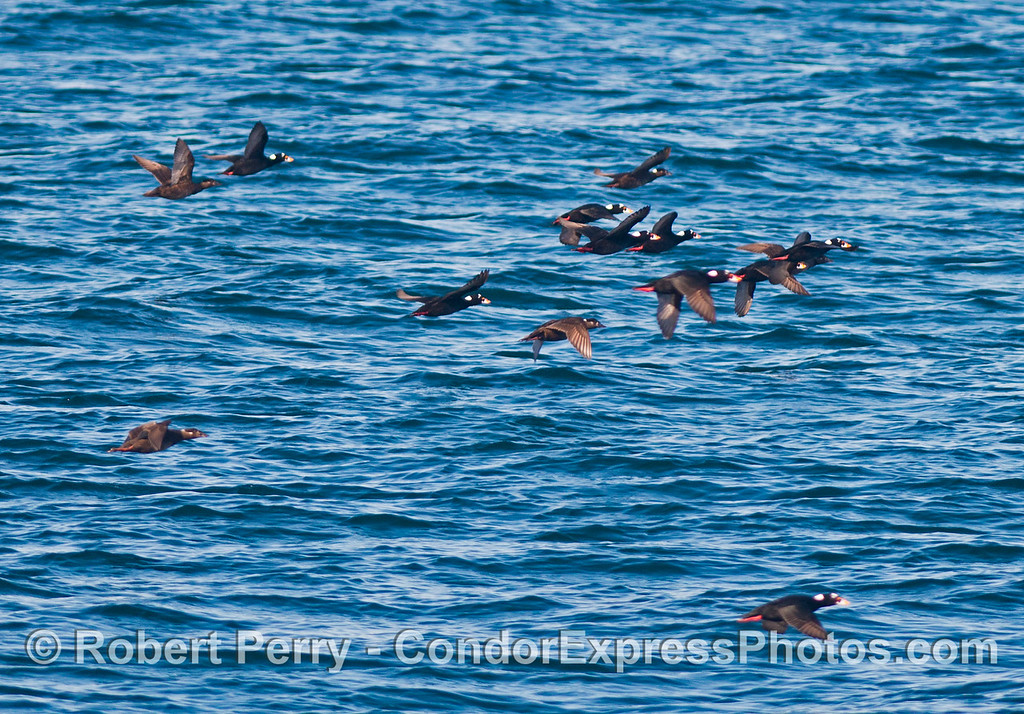 Part of a huge flock of surf scoters (<em>Melanitta perspicillata</em>) is seen in flight.