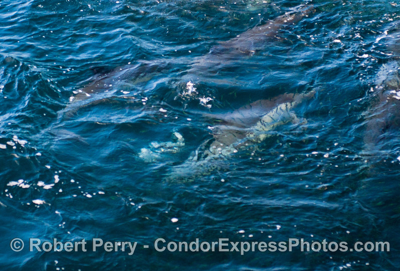 Long beaked common dolphins (<em>Delphinus capensis</em>) feeding on northern anchovies (<em>Engraulis mordax</em>) which can be seen swimming across the back of the submerged dolphins.