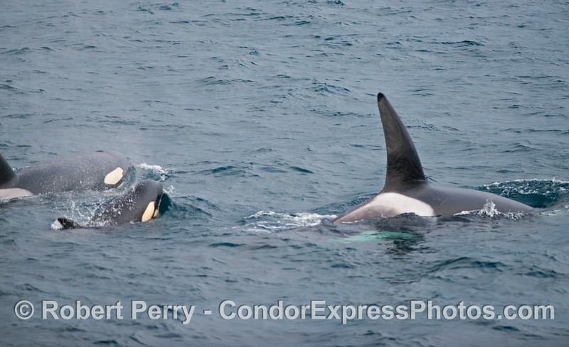 Orcinus orca pod of three 2012 12-22 SB Channel-044