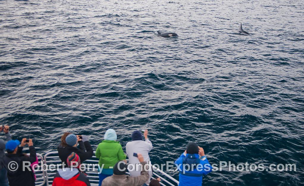 Orcinus orca & passengers 2012 12-22 SB Channel-a-012