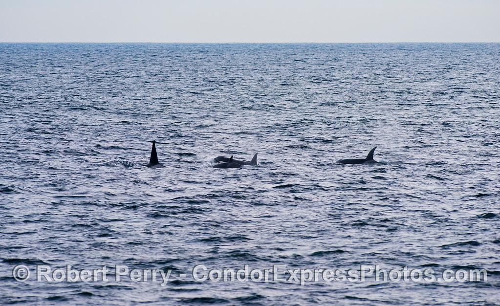 Orcinus orca four 2012 12-22 SB Channel-347