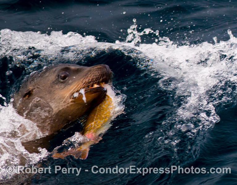 Zalophus with fish 2012 12-22 SB Channel-008