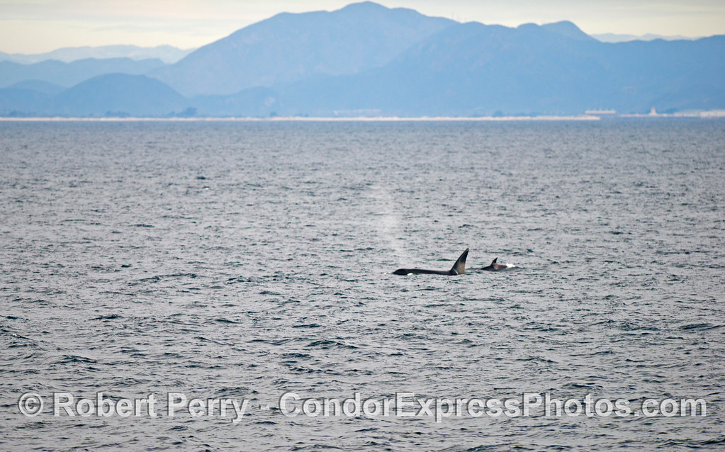 Orcinus orca 2 with Boney Ridge in back 2012 12-22 SB Channel-102