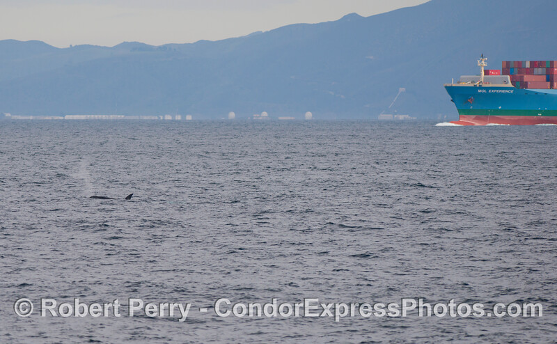 Orcinus orca pod of five & vessel  MOL Experience-Naval Base 2012 12-22 SB Channel-003