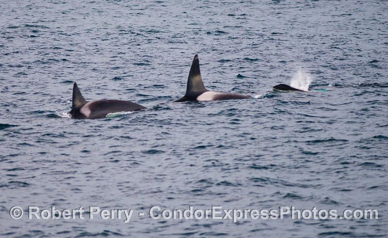 Orcinus orca three 2012 12-22 SB Channel-121