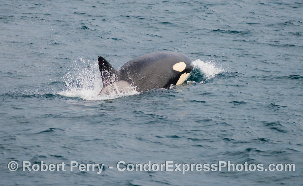 Orcinus orca one 2012 12-22 SB Channel-039