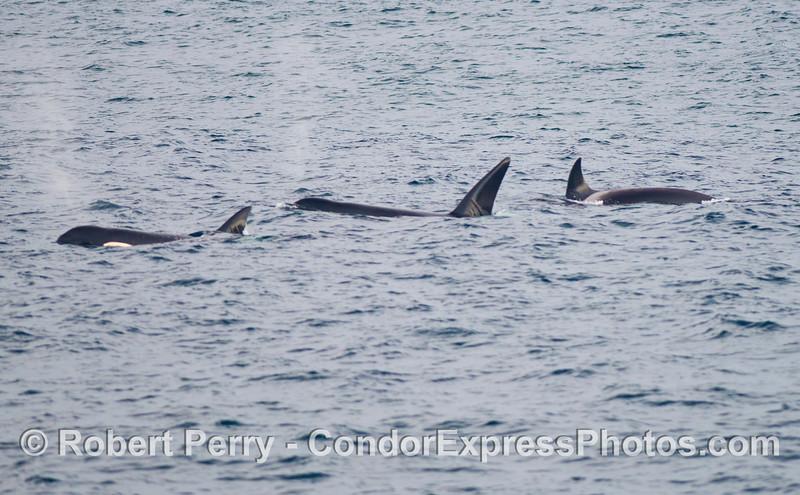 Orcinus orca three 2012 12-22 SB Channel-114