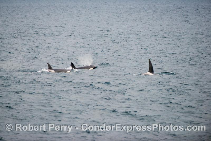 Orcinus orca three 2012 12-22 SB Channel-024