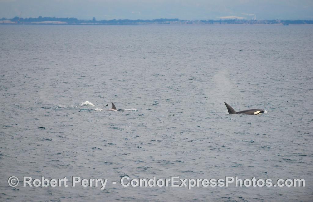 Orcinus orca & Port Hueneme in back 2012 12-22 SB Channel-008