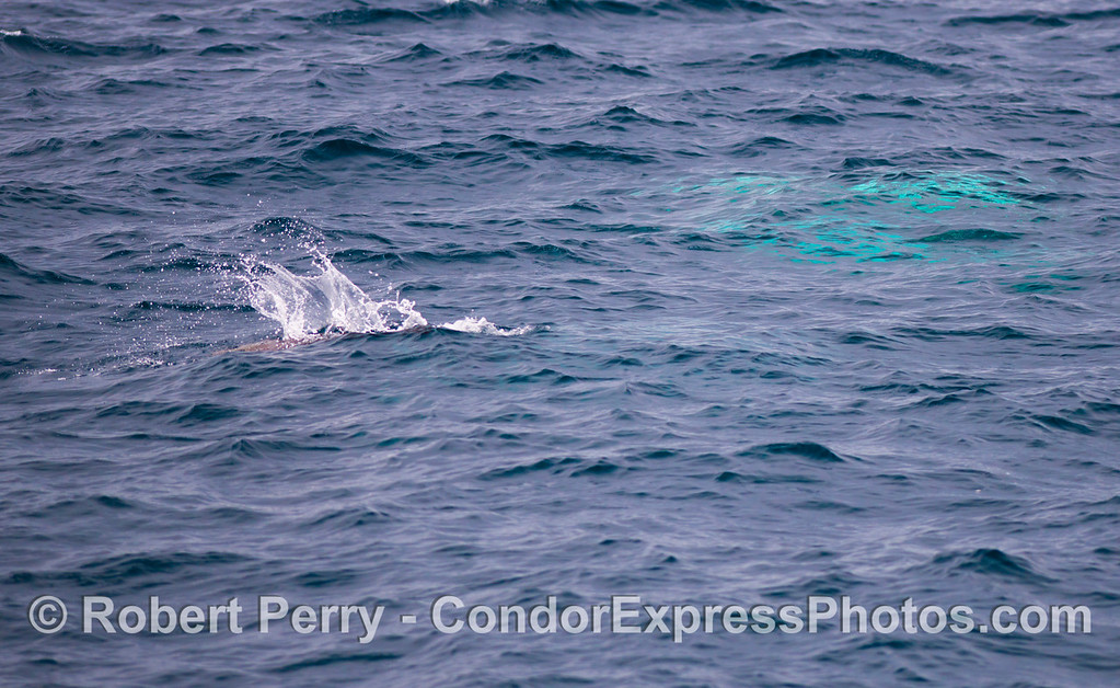 Orcinus orca & Zalophus californianus 2012 12-22 SB Channel-332