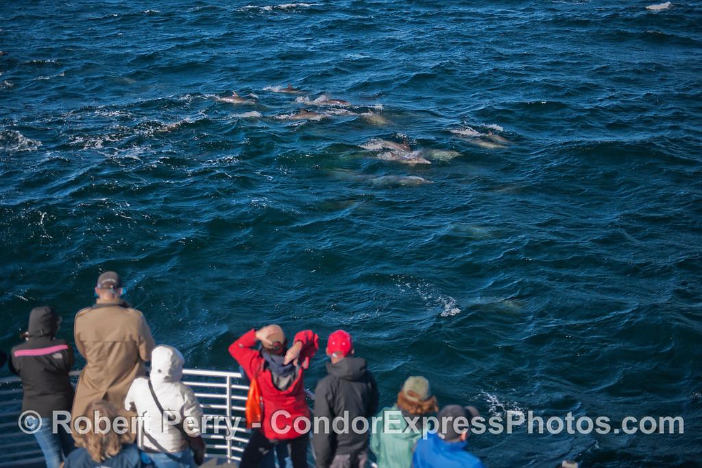 Delphinus capensis & passengers 2012 12-26 SB Channel-a-039