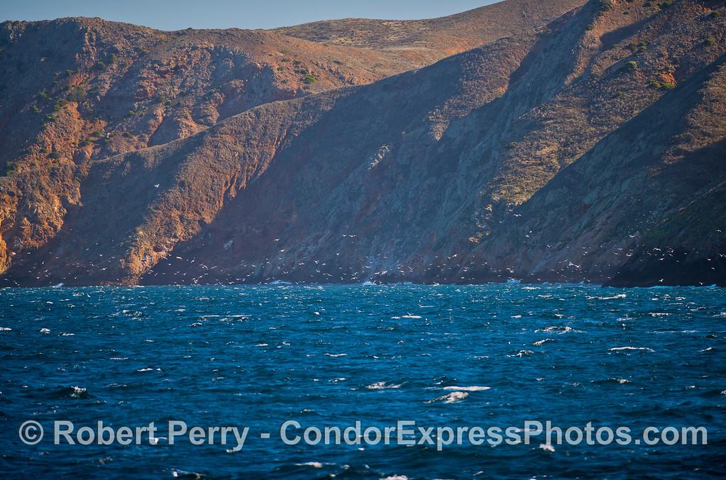 seabirds seacliffs 2012 12-26 Sta Cruz Island-006