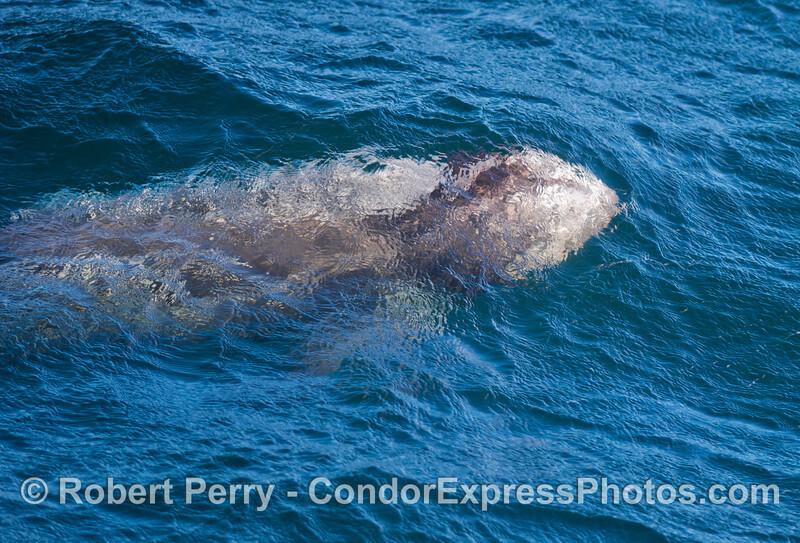 Grampus griseus 2012 12-26 SB Channel-035