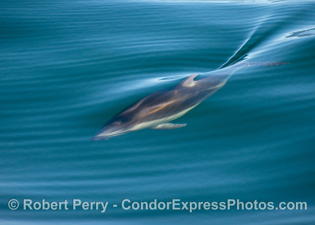 Lagenorhynchus obliquidens 2012 12-28 SB Channel-021