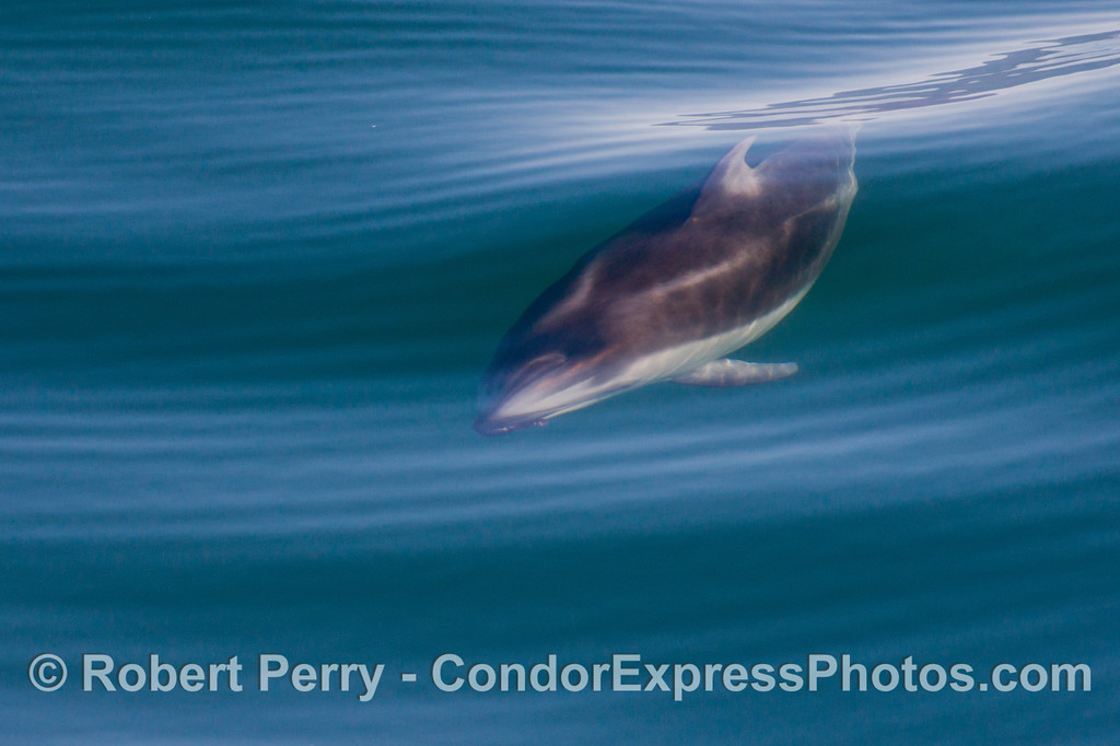 Lagenorhynchus obliquidens 2012 12-28 SB Channel-020