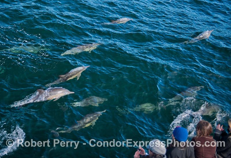 Delphinus capensis & passengers 2012 12-28 SB Channel-a-058