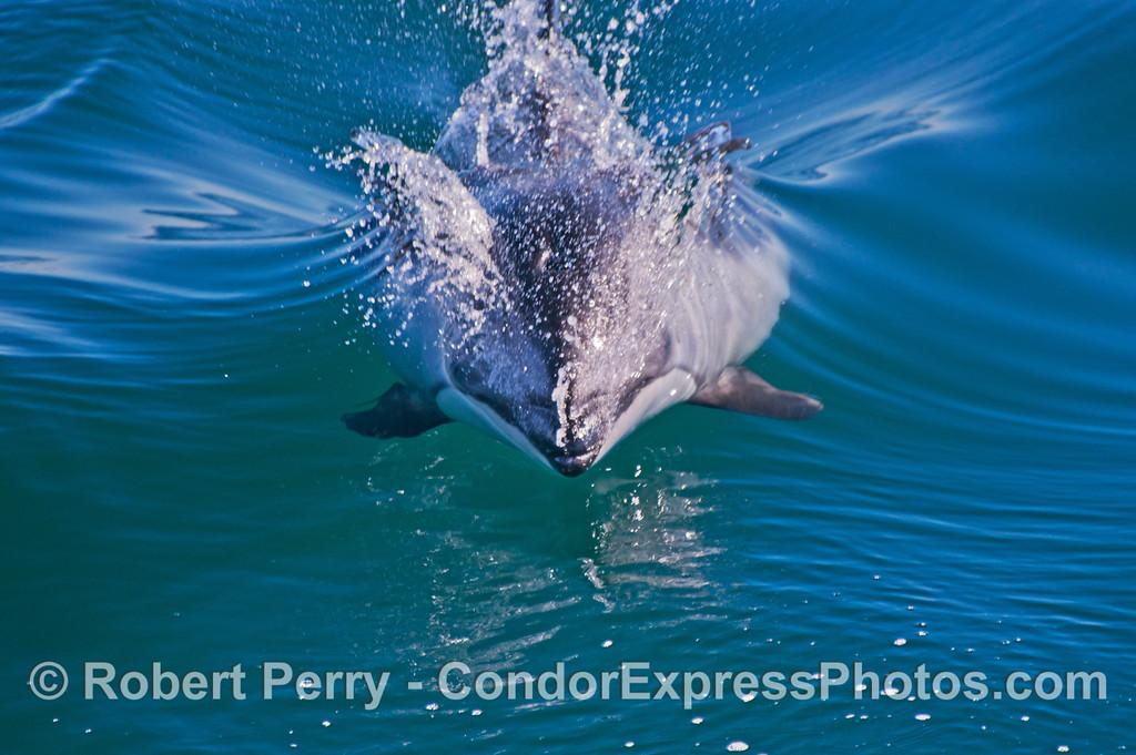 Lagenorhynchus obliquidens 2012 12-28 SB Channel-056