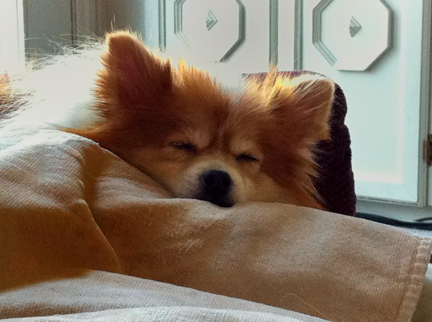 Sami Pomeranian taking a quick nap.