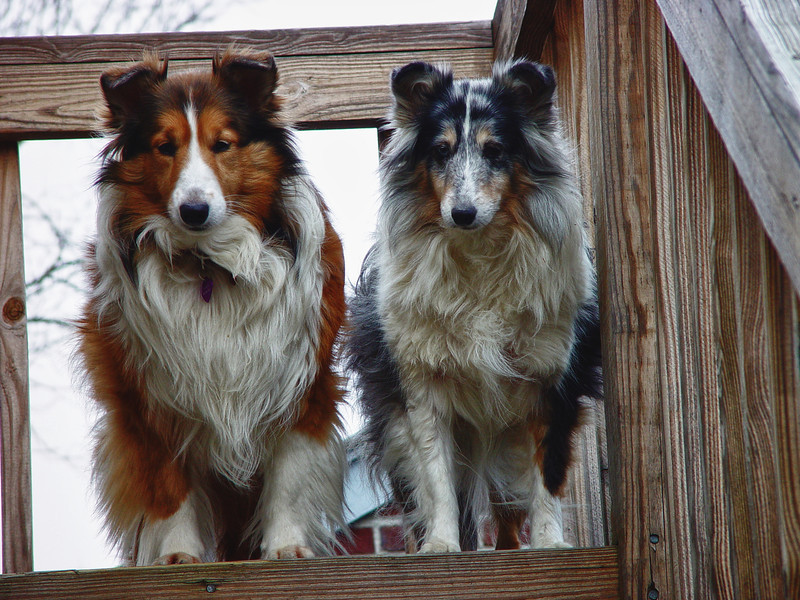 Angel and Sybil, Shelties Sable and Blue Merle standing on deck.