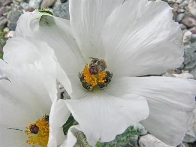 Desert poppy