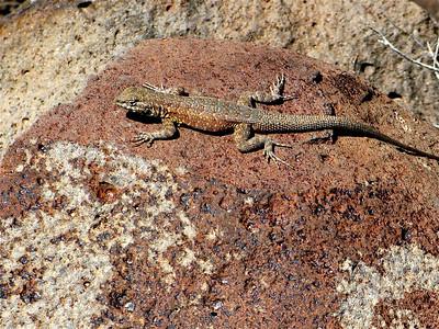 Side-blotched lizard