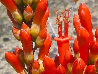 Ocotillo flower buds