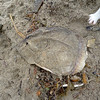 Moon fish dead