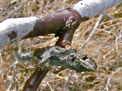 Impaled food cache of loggerheaded shrike