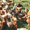 Debbie Wachter/NEWS<br /> Maggie Henry's flock of organically raised chickens are a popular commodity at Pittsburgh organic food markets. She fears what will happen to them from the potential ills of shale drilling.