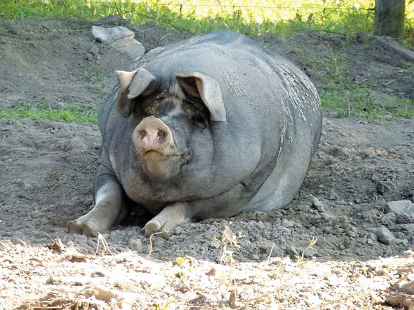 Debbie Wachter/NEWS<br /> A 600-pound pig named Beans basks in the shade at the Henry farm. The Berkshire has been on the farm for about eight years.