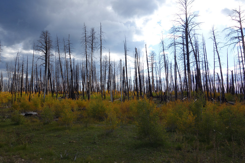 About 50 miles from the north rim we drove through an area burned out in a 2007 (I think) fire