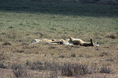 Ngorongoro Crater - Lions - not a care in the world, taking a nap...