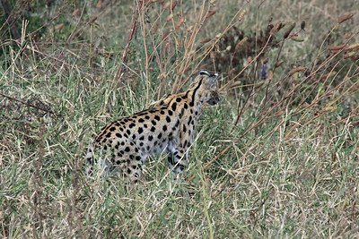 Ngorongoro - The Serval - a nocturnal cat that is very hard to see!