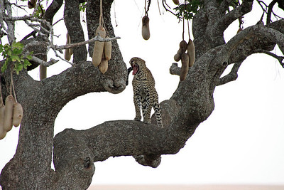 Serengeti - Leopard - Look out for those fangs!