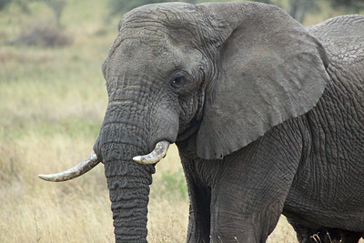 Serengeti - happy elephant