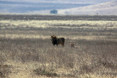 Ngorongoro Crater - watchful male and his female