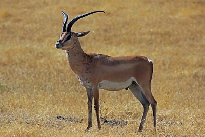 Ngorongoro Crater - Grant's Gazelle