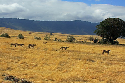 Ngorongoro Crater - A Pride stalking together