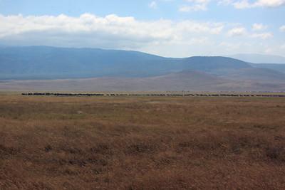 Ngorongoro Crater - Wildebeest everywhere.