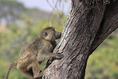 Tarangire National Park - baby Olive Baboon