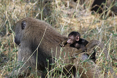 Tarangire National Park - Olive Baboon baby holding on for a ride...