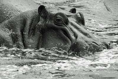 Serengeti - Hippo gaze