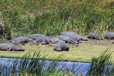 Ngorongoro Crater - Hippos Baking
