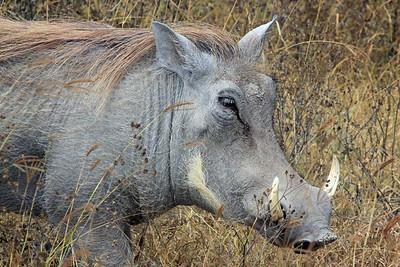 Ngorongoro - Warthog - I love the hair