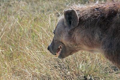 Ngorongoro - The ugly spotted Hyena