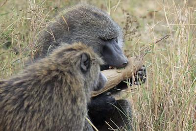 Serengeti - Olive Baboon having a snack...