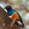 Tarangire National Park - Superb Starling
